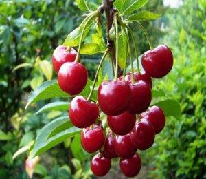 <p>Sour Cherries</p>