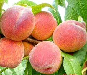 <p>Peaches</p>