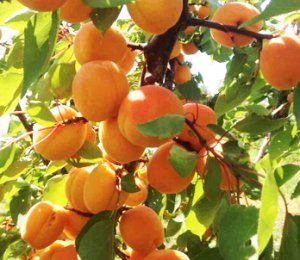 <p>Apricots</p>